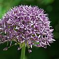 Allium by Chris Day