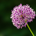 Allium Flower by Alexander Senin