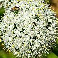 Allium Flower And Lightning Bug by Douglas Barnett