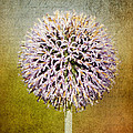 Allium Flower by Angela Doelling AD DESIGN Photo and PhotoArt