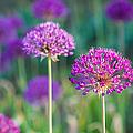 Allium Flowers - Featured 3 by Alexander Senin
