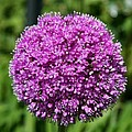 Allium Globe by Christiane Schulze Art And Photography