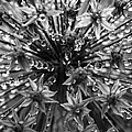 Allium Jewels by Anne Gilbert