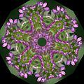 Allium by Patsy Zedar