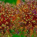 Allium Seeds by Debbie Kelly