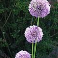 Alliums by Tabitha Godin