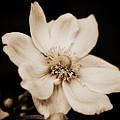 Alluring Anemone by Venetta Archer