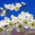 Almond Blossom by Carlos Caetano