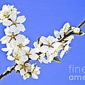 Almond Blossom by Heiko Koehrer-Wagner