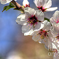 Almond Blossoms by Jim And Emily Bush