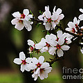 Almond Blossoms by Robert Woodward