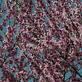 Almond Blossoms by TouTouke A Y