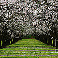 Almond Orchard by Robert Woodward