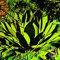 Aloe by Judy Wolinsky