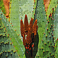 Aloe Vera's New Buds by Tom Janca