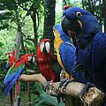 Aloha Kaua Aloha Mai No Aloha Aku Beautiful Macaw by Sharon Mau