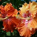 Aloha Keanae Tropical Hibiscus by Sharon Mau