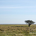 Alone Tree At A Coastal Grassland by Kennerth and Birgitta Kullman