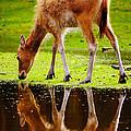 Along The Water Grazing Pere David's Deer by Nick  Biemans