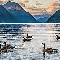 Alouette Lake Geese by James Wheeler