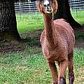 Alpaca Brown by Image Takers Photography LLC - Carol Haddon