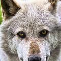 Alpha Male Wolf by Marcia Colelli