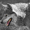 Alpha Male Wolf - You Look Tasty 2 by Gill Billington