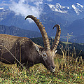 Alpin Ibex Male Grazing by Konrad Wothe