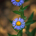 Alpine Aster by Robert Bales
