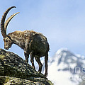 Alpine Ibex 4 by Arterra Picture Library