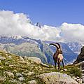 Alpine Ibex by Mircea Costina Photography