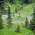 Alpine Meadow by Tikvah's Hope