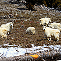 Alpine Mountain Goats by Greg Norrell