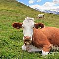 Alpine Pasture With Cow by Antonio Scarpi