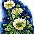 Alpine Ranunculus by Zaira Dzhaubaeva