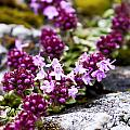 Alpine Thyme by Katherine Hawkins