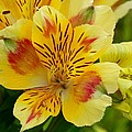 Alstroemerias Flower 1 by Lynne Miller