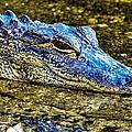 Aly Gator by Jody Lane