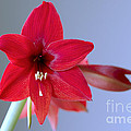 Amaryllis 2 by Sharon Talson