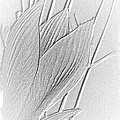 Amaryllis-8 by Marian Binkhorst