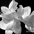 Amaryllis - Bw by Paul W Faust -  Impressions of Light