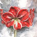 Amaryllis by Claudia Hafner
