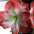 Amaryllis In Bloom by Barbara McDevitt
