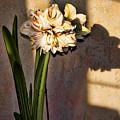 Amaryllis In Evening Shade by Brenda Kean