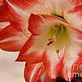 Amaryllis In Spring by Nina Silver