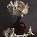 Amaryllis  by Larry Preston