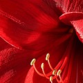 Amaryllis6782 by Gary Gingrich Galleries