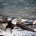 Amazing Bald Eagle  by Debra  Miller