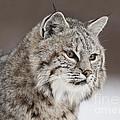 Amazing Gaze by Wildlife Fine Art
