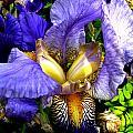 Amazing Iris by Michele Avanti